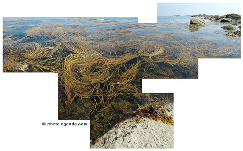 Les algues au bout de Callot