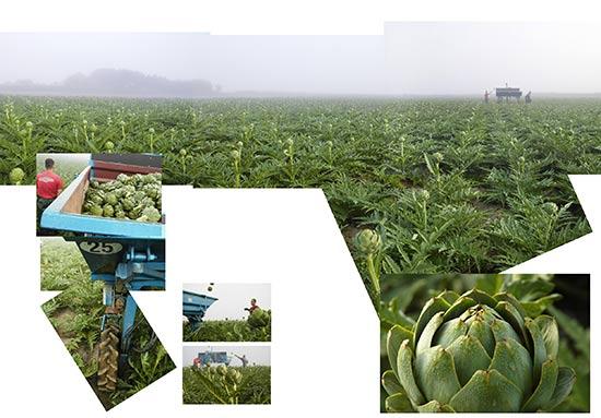 Récolte d'artichauts à Saint-Pol-de-Léon