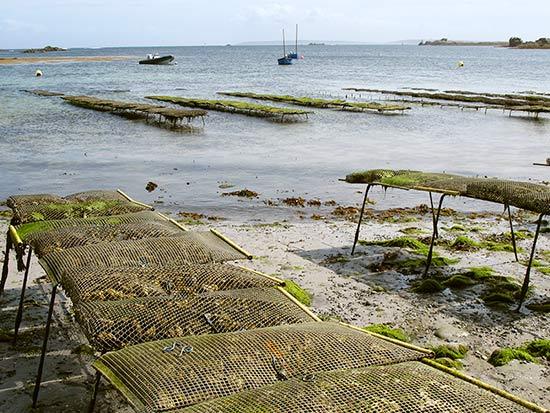 les huîtres de l'île de Sein