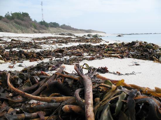 Algues brunes à Beg-Meil