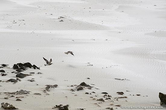 Un couple de courlis s'envole sur la plage